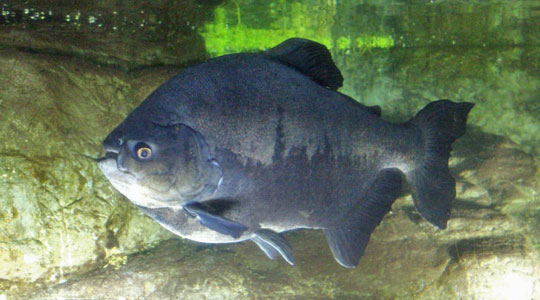 Black-finned pacu