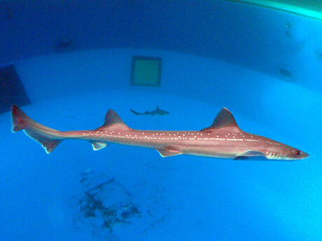 Starspotted smooth-hound