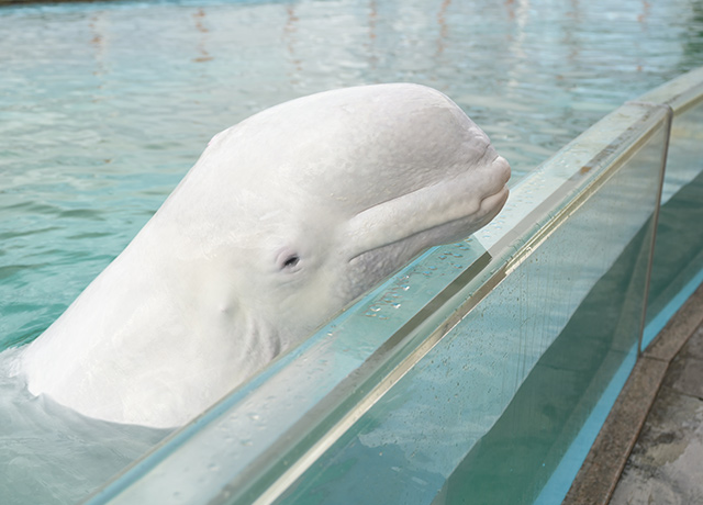 Friendly Time White whale